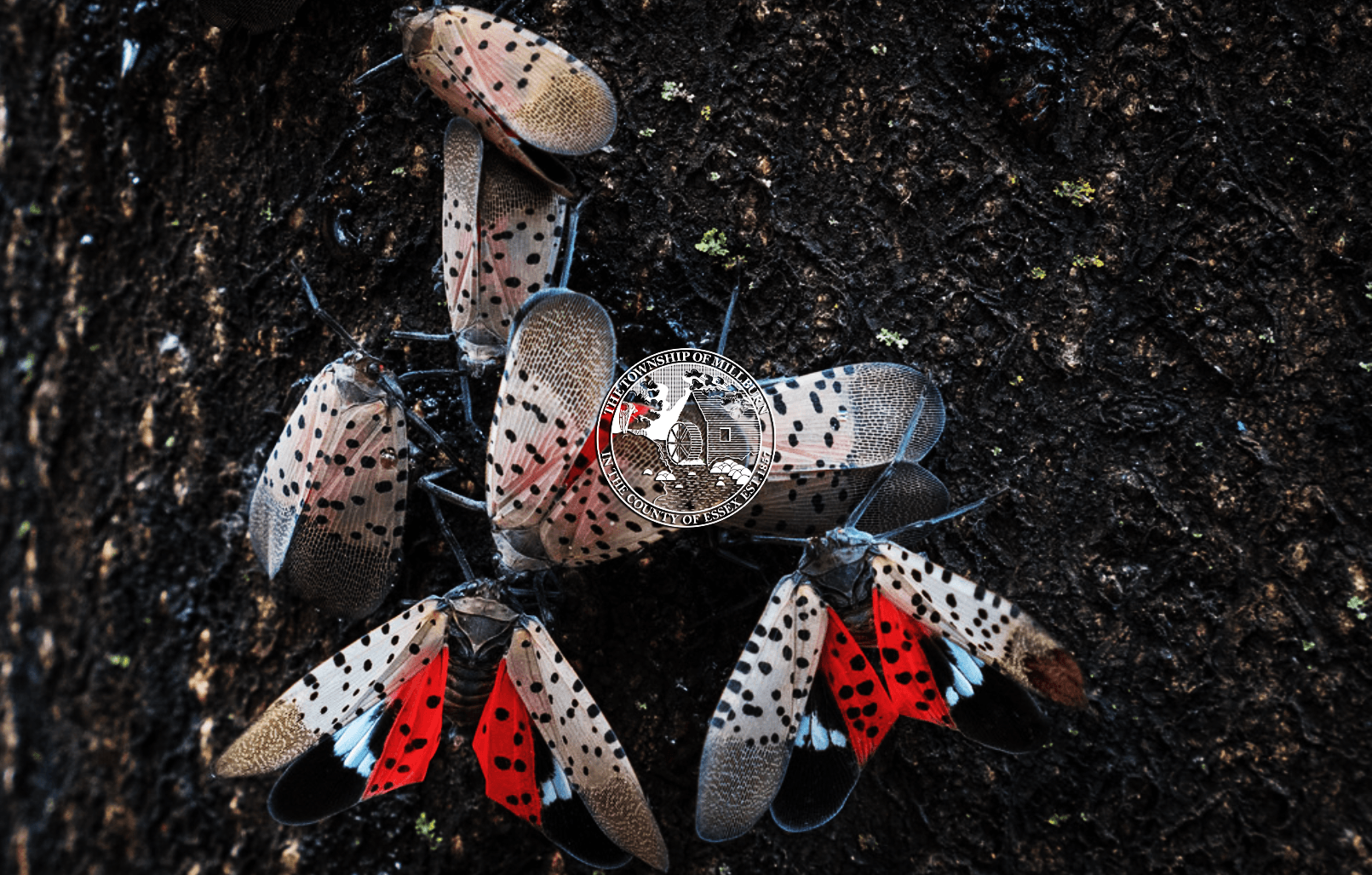 Adult Spotted Lanternflies on Tree